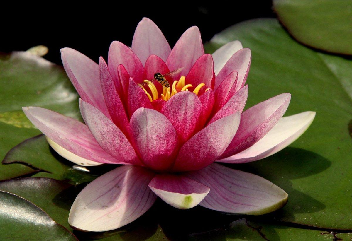 Священный цветок лотоса - тайны растений. лотос в жизни человека. florets.ru