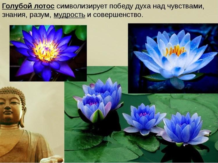 Растение лотос орехоносный: [описание, фото и где растет]