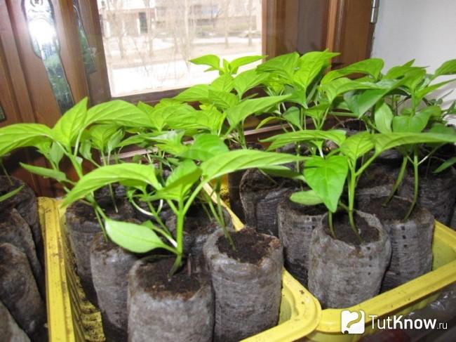 Лучшие способы выращивания крепкой рассады перца в домашних условиях