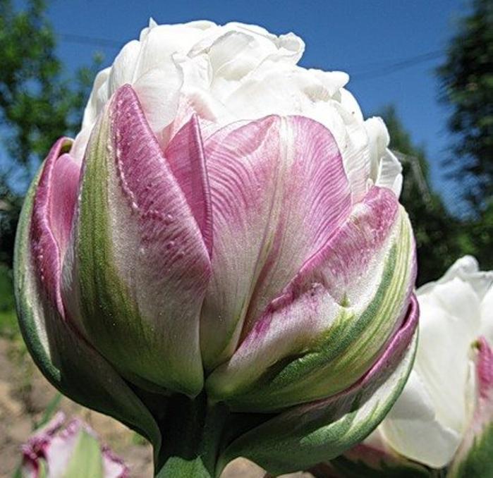 Тюльпаны: посадка и уход в открытом грунте - лучшие советы!