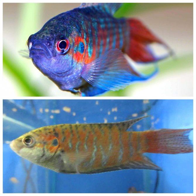 "Рыба ""волшебная золотая рыбка"""