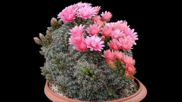 Виды кактусов микс: уход в домашних условиях
