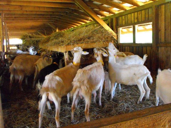 Овцекозы: гибриды и химеры.