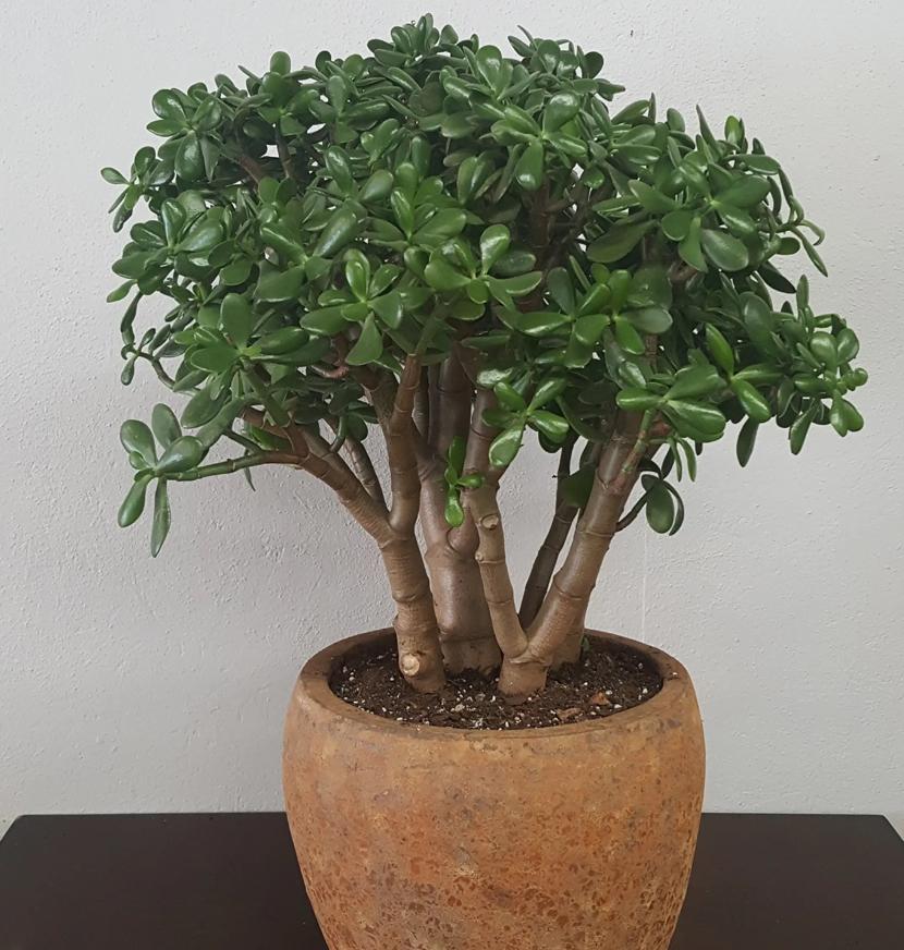 Денежное дерево — уход в домашних условиях и научное название комнатного цветка, как ухаживать за толстянкой (крассулой) зимой