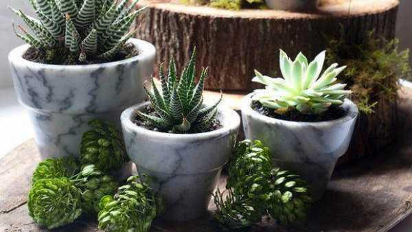 Кактус в комнатном цветоводстве – виды, выращивание