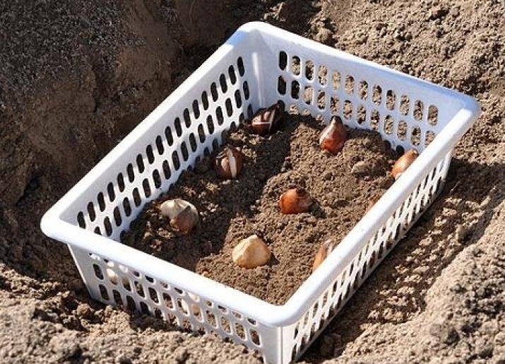 Посадка тюльпанов в корзины для луковичных - всё о цветах