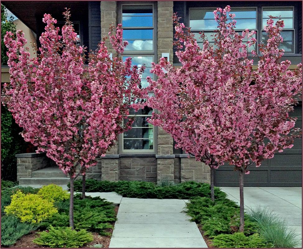 Декоративная яблоня с красными цветами: сорта и особенности ухода - 15 фото