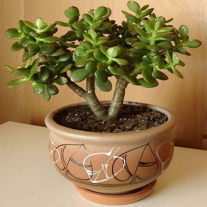 Денежное дерево – как правильно его посадить, чтоб велись деньги