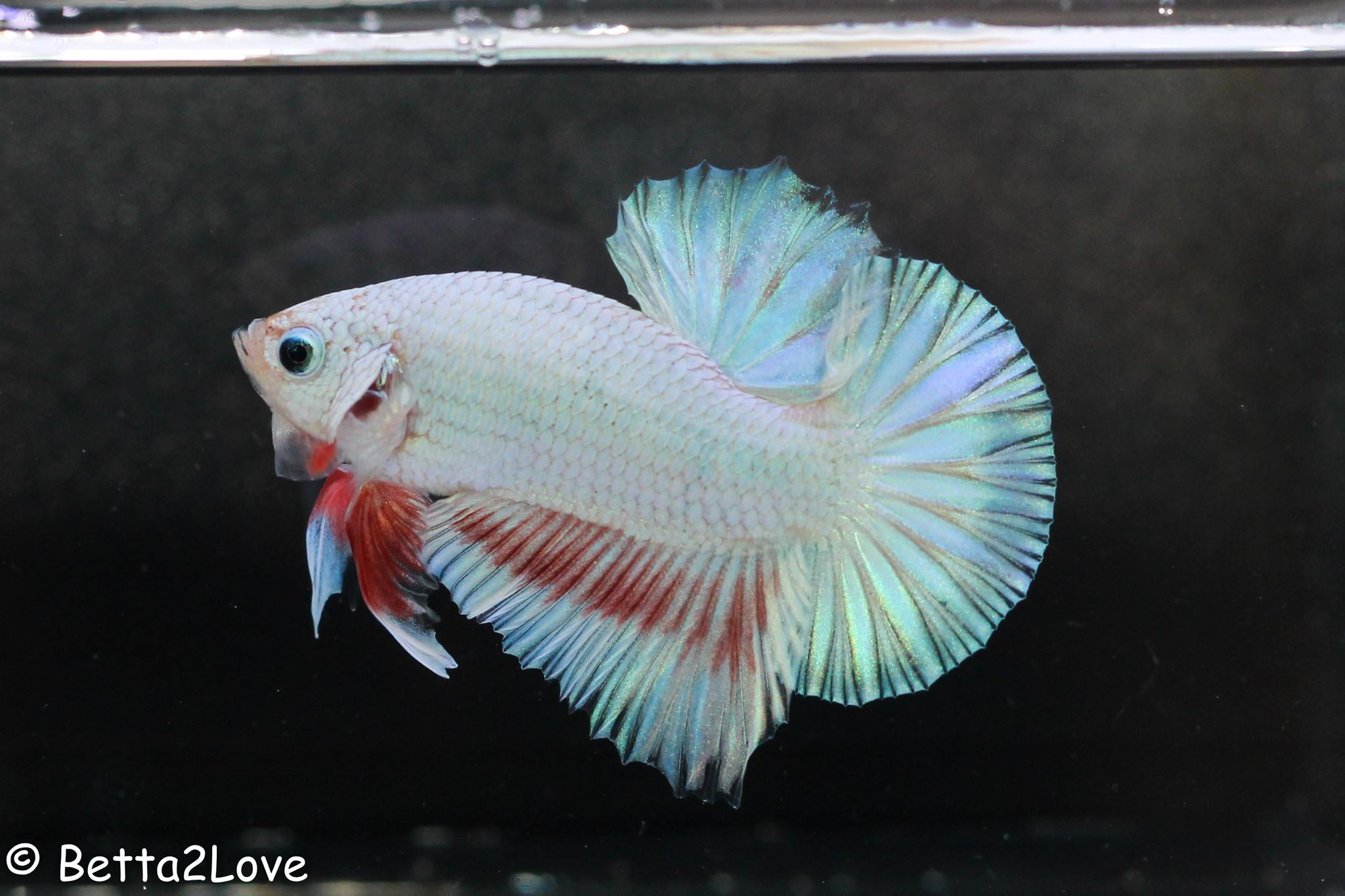Рыбки петушки (бойцовский, аквариумный петушок бетта, вуалевый): содержание, уход в аквариуме (температура воды)
