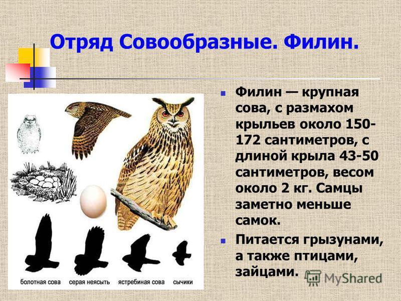 Самые красивые совы, филины и сипухи планеты