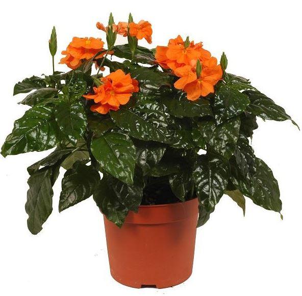 Лейя: фото изящной разновидности цветка, посадка, уход