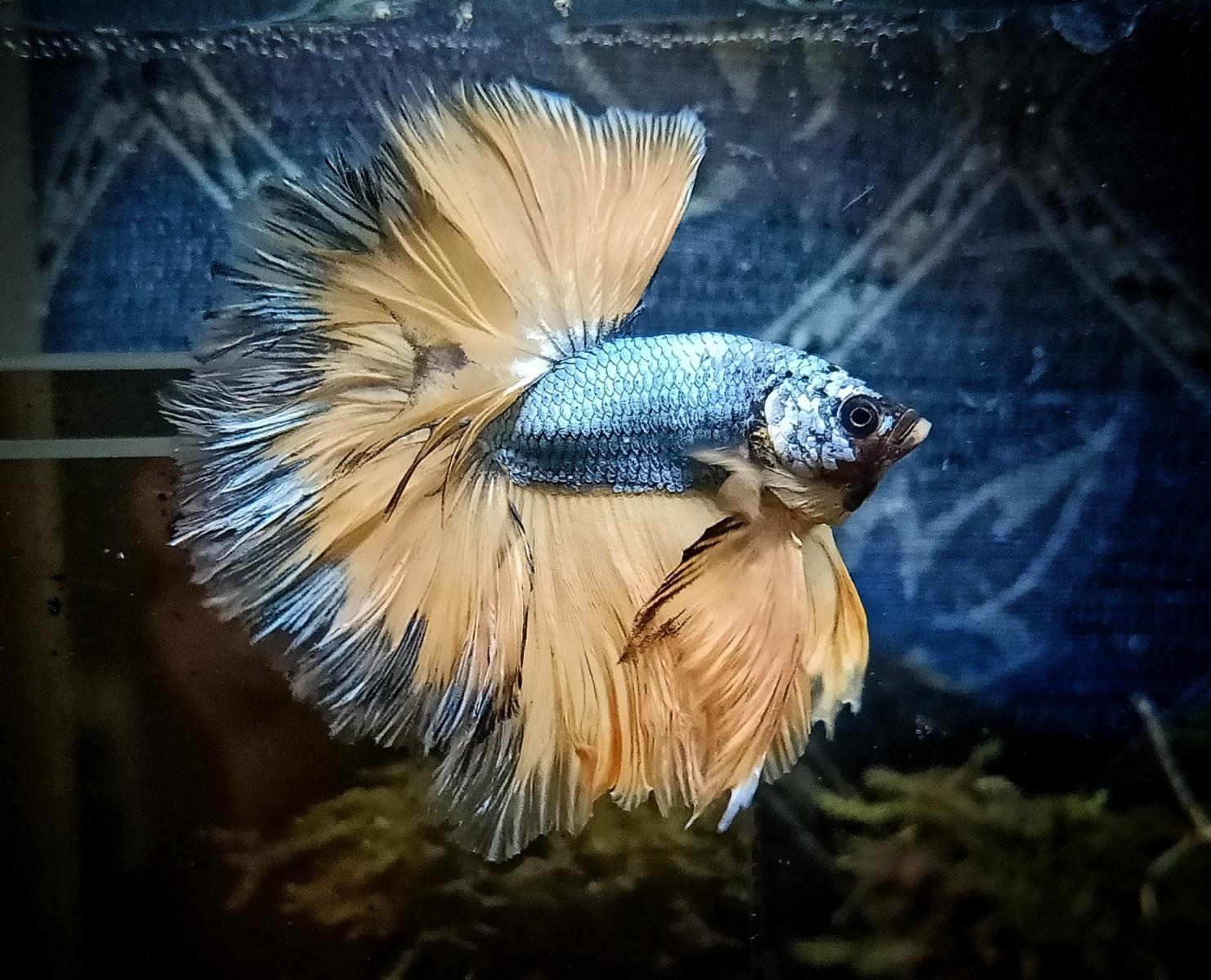 Рыба петух ? фото, описание, ареал, питание, враги ✔