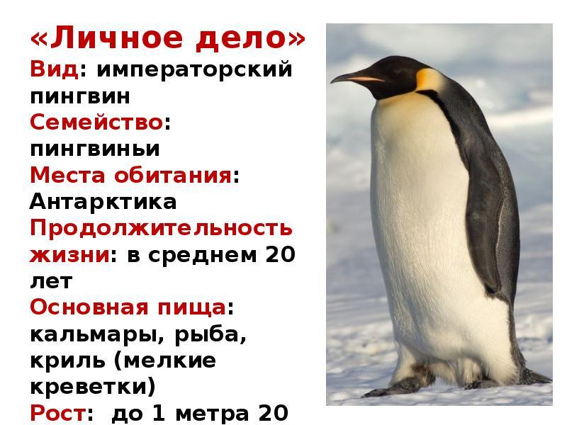 Пингвины – интересные факты, фото и видео