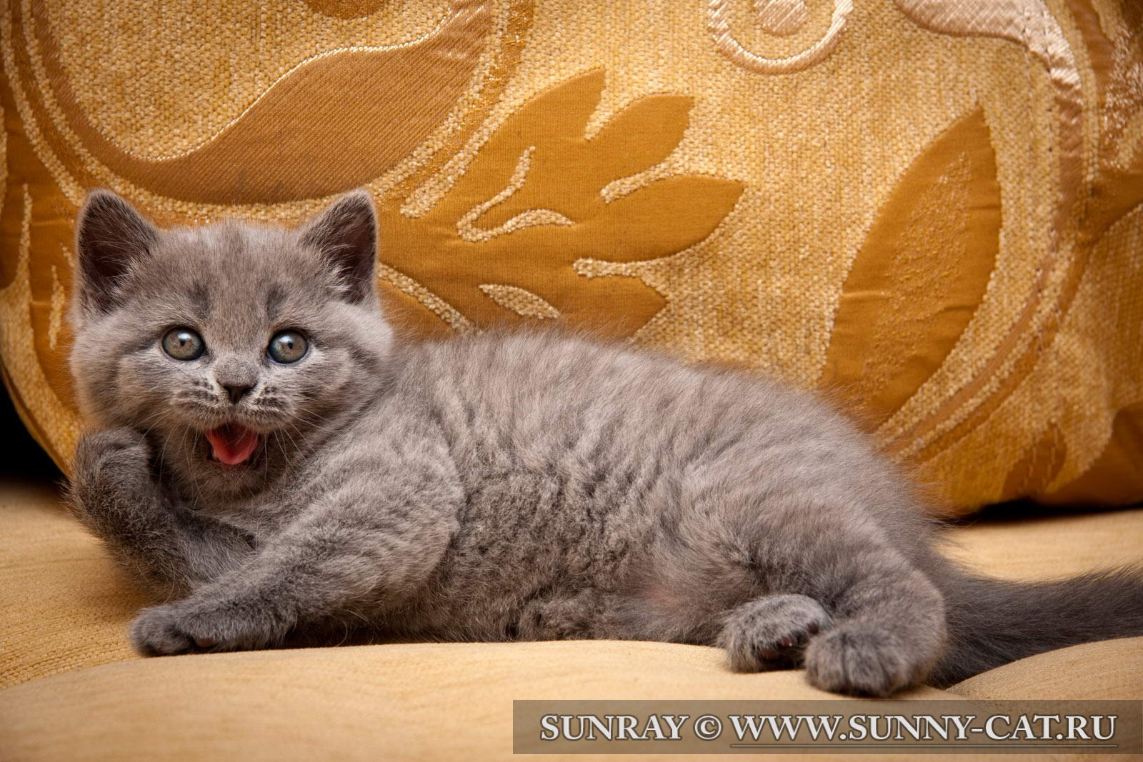 Как назвать британскую кошку — советы и рекомендации