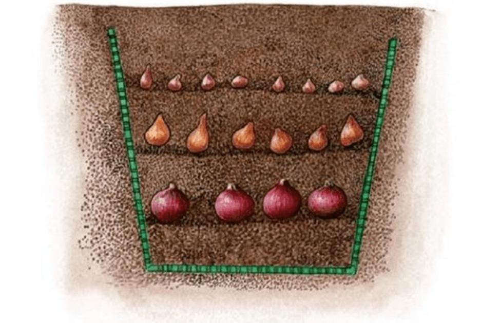Как сажать тюльпаны в корзины для луковичных культур