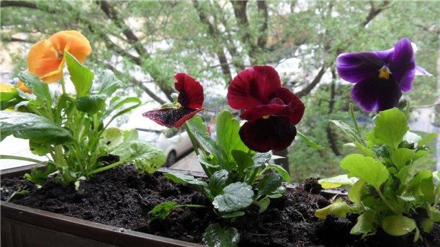 Анютины глазки: фото цветка, описание, сорта, лечебные свойства виолы, легенда о появлении, а также однолетнее это растение или нет, что символизирует фиалка