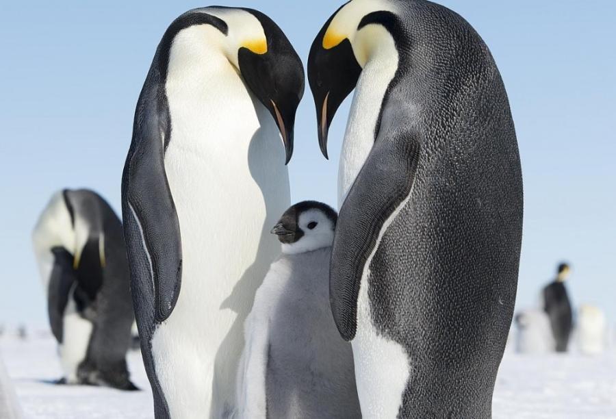 Хохлатый пингвин ? фото, описание, ареал, питание, враги ✔