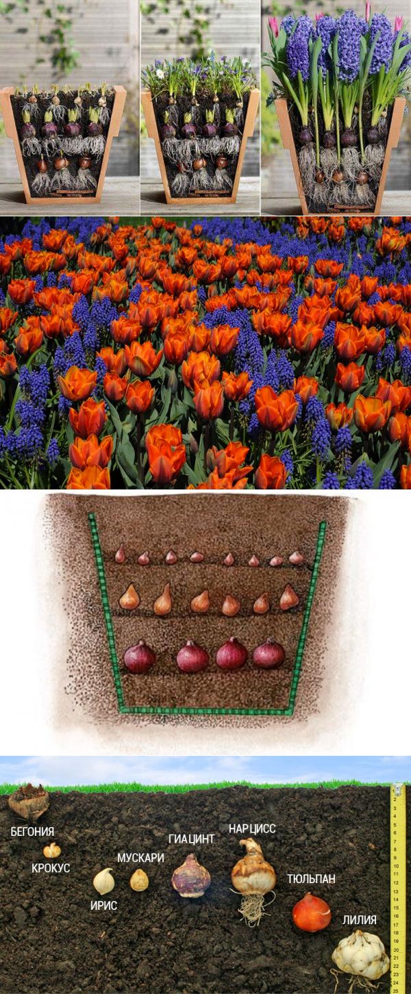 Когда и как правильно проводить посадку тюльпанов в корзины для луковичных своими руками