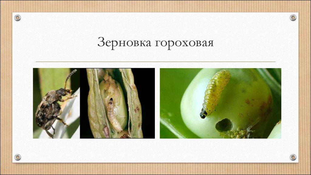 Гороховая зерновка – вредитель зернобобовых культур