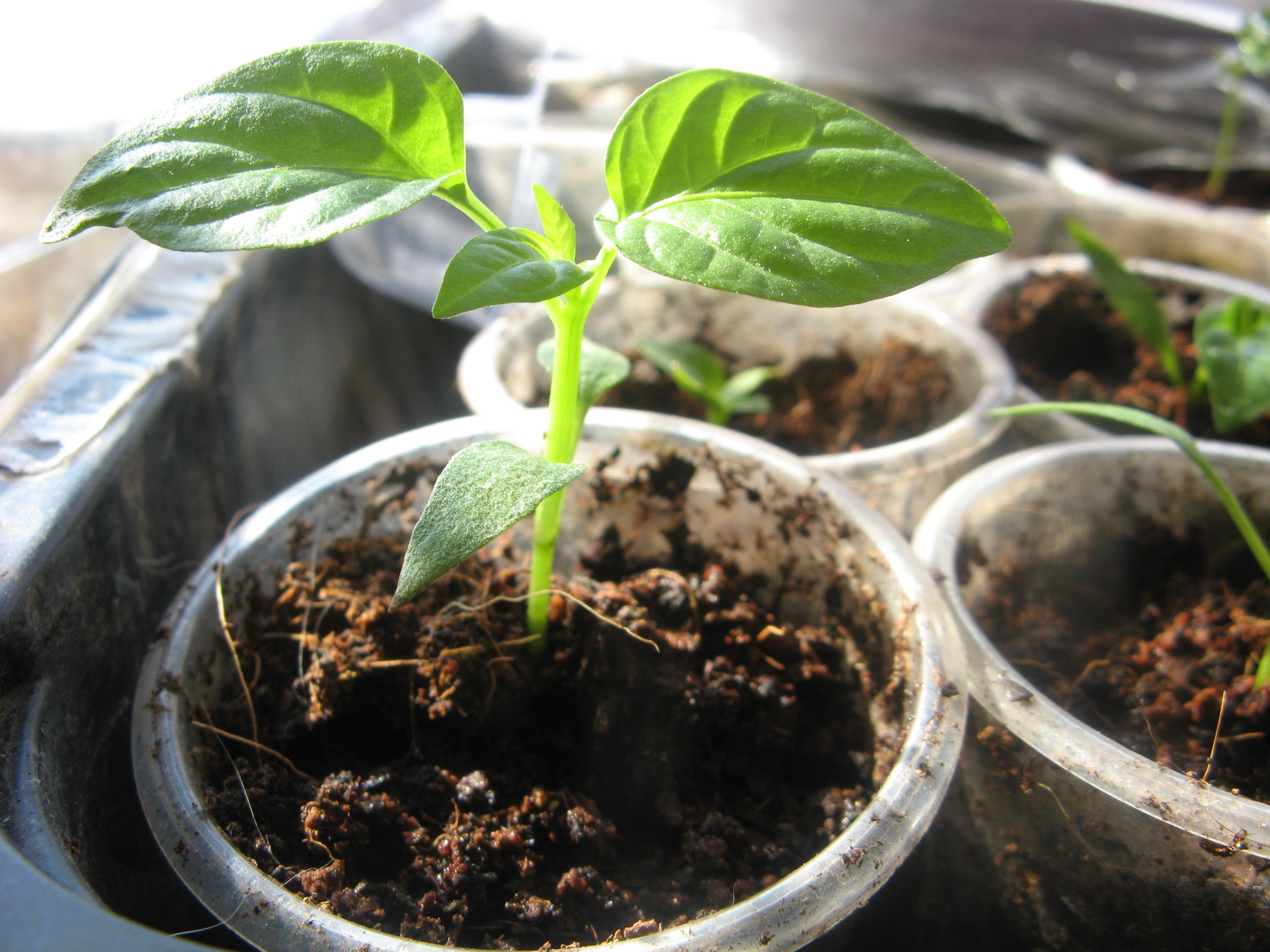 Перец: выращивание и уход в открытом грунте, посев на рассаду