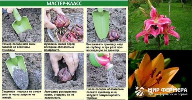 Лилия: магические свойства, использование в народной медицине