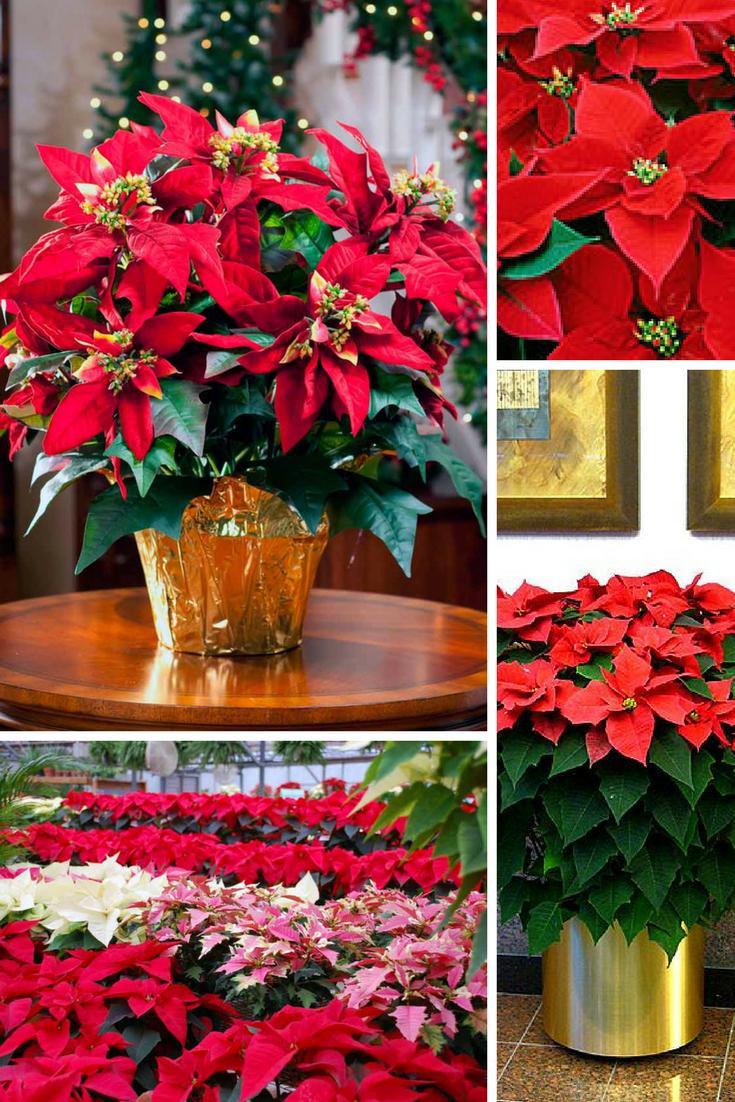 Пуансеттия (84 фото): как ухаживать за ней в доме? как заставить «рождественскую звезду» цвести в домашних условиях? как правильно обрезать и поливать?