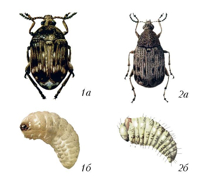ᐉ жук из зерен и семян - своими руками -
