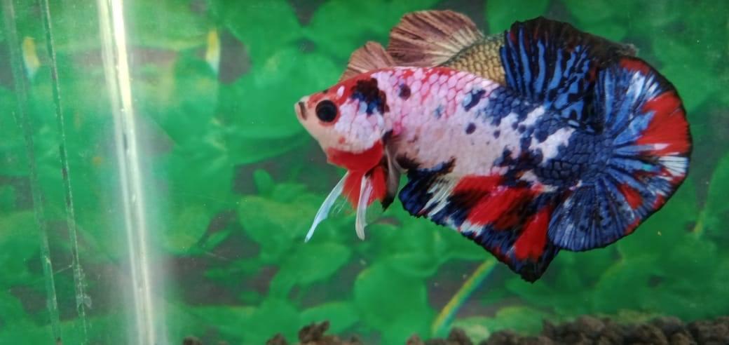 Рыбка петушок - уход и содержание, сколько живет в аквариуме, размножение, чем кормить, совместимость с другими