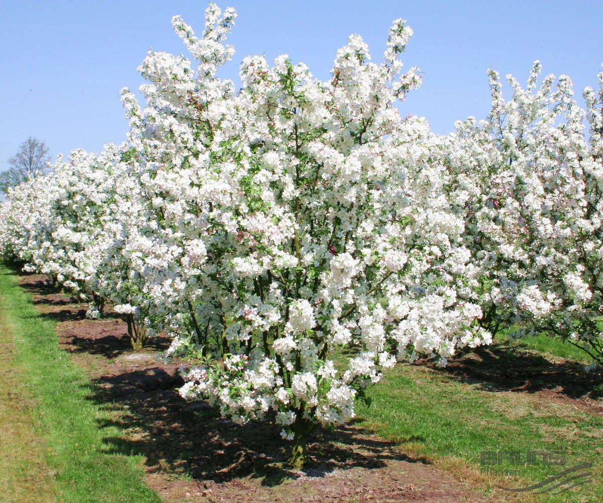 Декоративные яблони – все о посадке, уходе и лучших сортах | в саду (огород.ru)