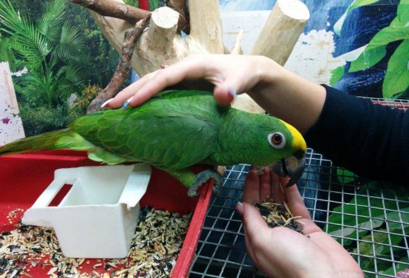 Волнистые попугаи: жизнь на воле и в домашних условиях