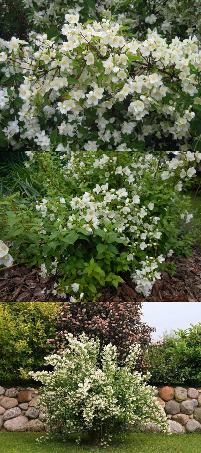 Декоративная яблоня с красными цветами в саду: сорта и уход за деревом