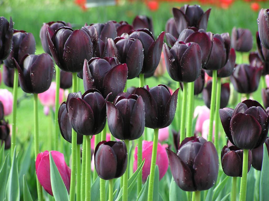 Посадка и уход за кустовыми тюльпанами, особенности агротехники для разных сортов