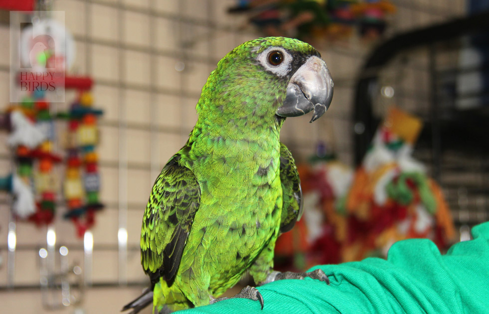 Попугаи говорящие: лучшие породы для дома, особенности ухода