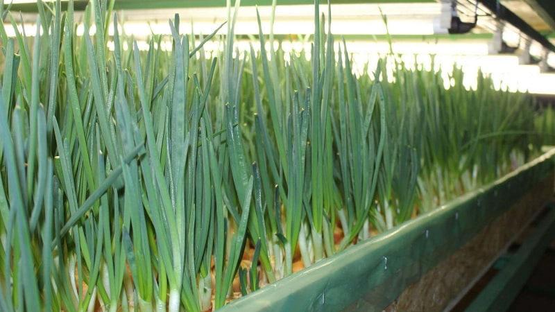 Как вырастить зеленый лук на подоконнике. выращивание зеленого лука на подоконнике. в статье приведены методы выращивания зеленого лука на подоконнике.