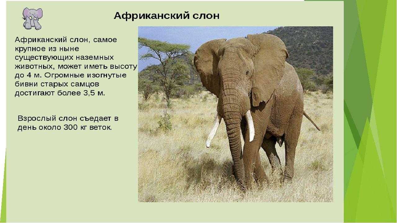Слон – описание, характеристики, ареал, виды, питание, размножение, сколько весит, фото и видео - «как и почему»