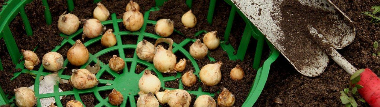 В чем преимущество посадки тюльпанов в корзины для луковичных и как это правильно делать?