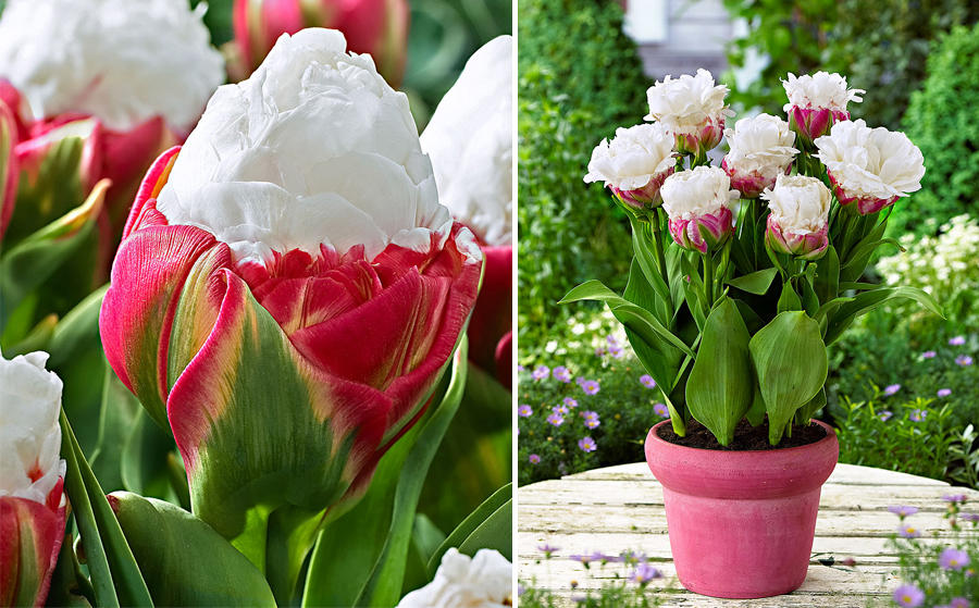 Особенности посадки тюльпанов | в цветнике (огород.ru)