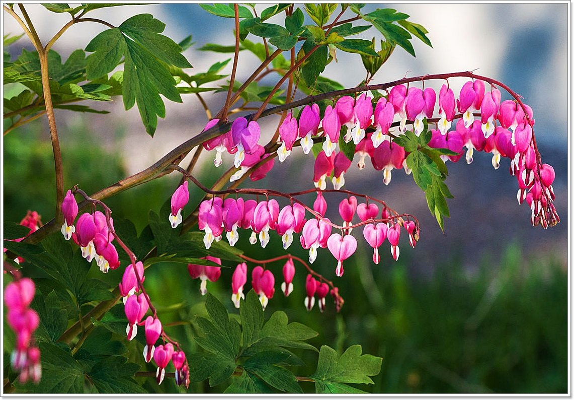 Цветок разбитое сердце, или дицентра: распространенные виды, посадка и уход