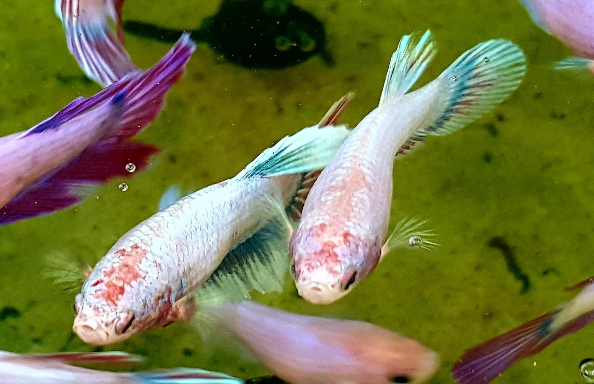 Рыбка петушок: фото, содержание, совместимость, разведение