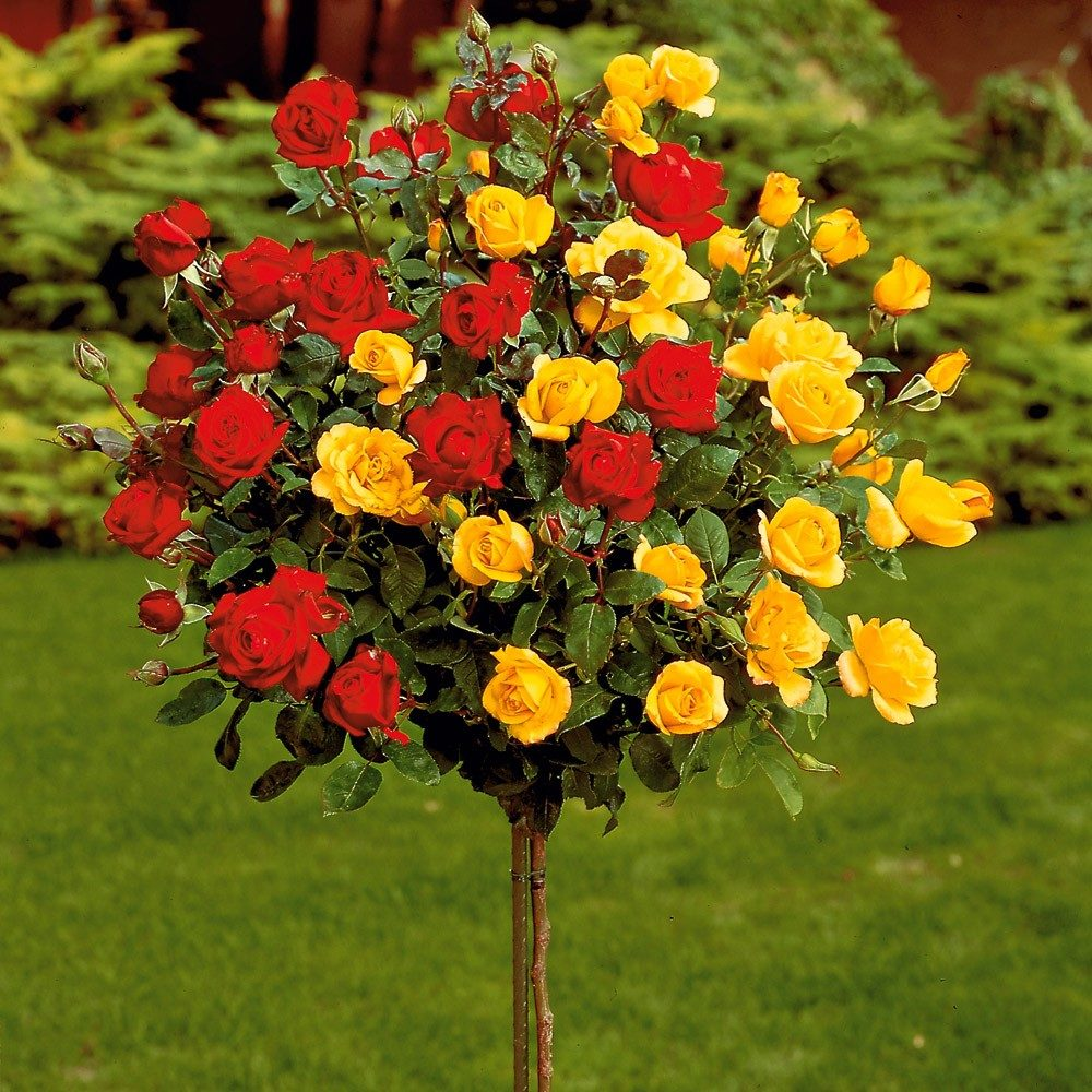 Высокие розы — описание сортов, на длиной ножке, с большими бутонами