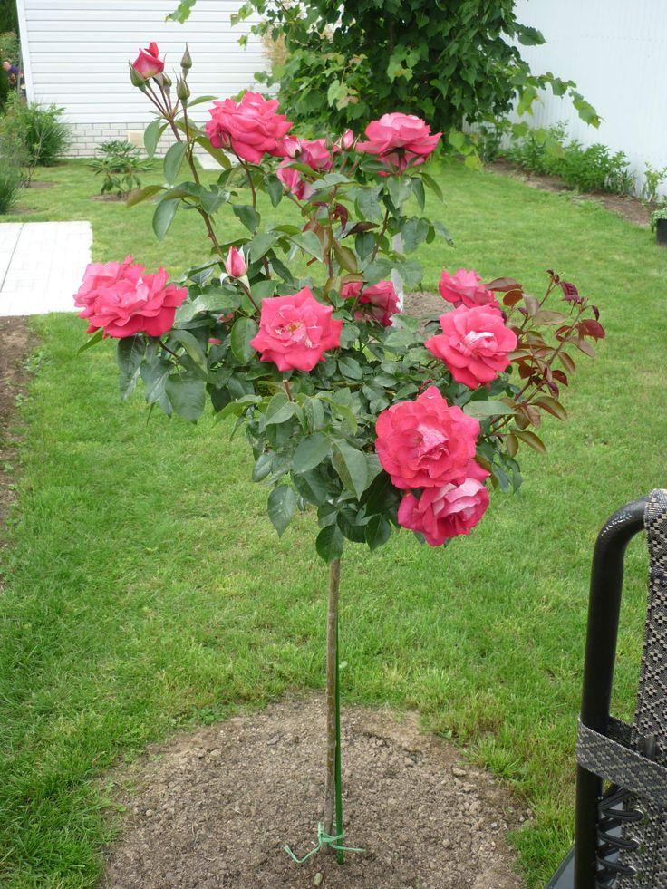 Плетистые розы: посадка и уход в открытом грунте, размножение и обрезка, сорта плетистых роз с фото и названиями
