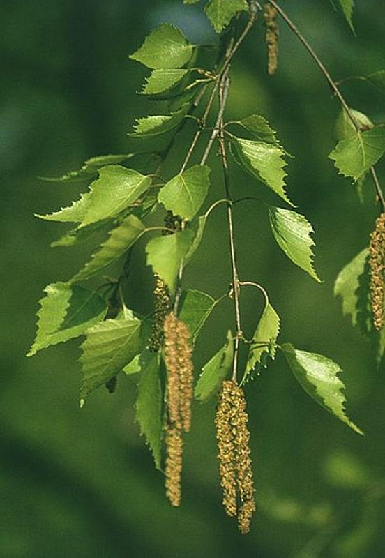 Береза пушистая (34 фото): описание обыкновенной белой березы, название на латыни, листья, высота и срок жизни, можно ли привить