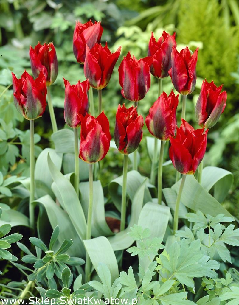 10 самых необычных сортов тюльпанов