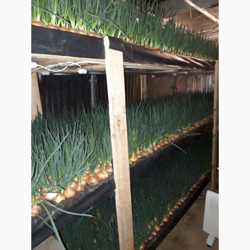 ? как вырастить зеленый лук в домашних условиях: место, температура, освещение, варианты
