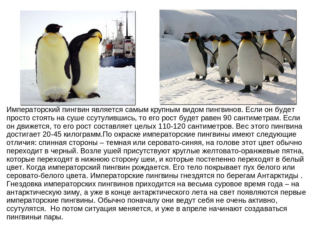 Пингвины – коренные жители антарктиды