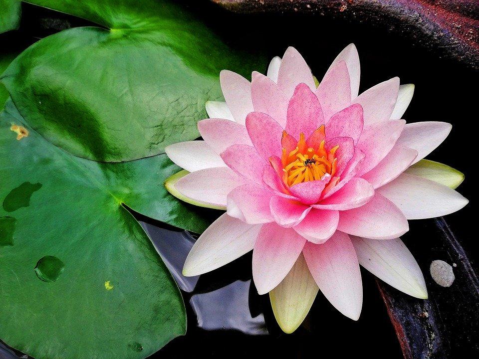 Лотос – описание цветка с фото; выращивание и применение; польза и вред