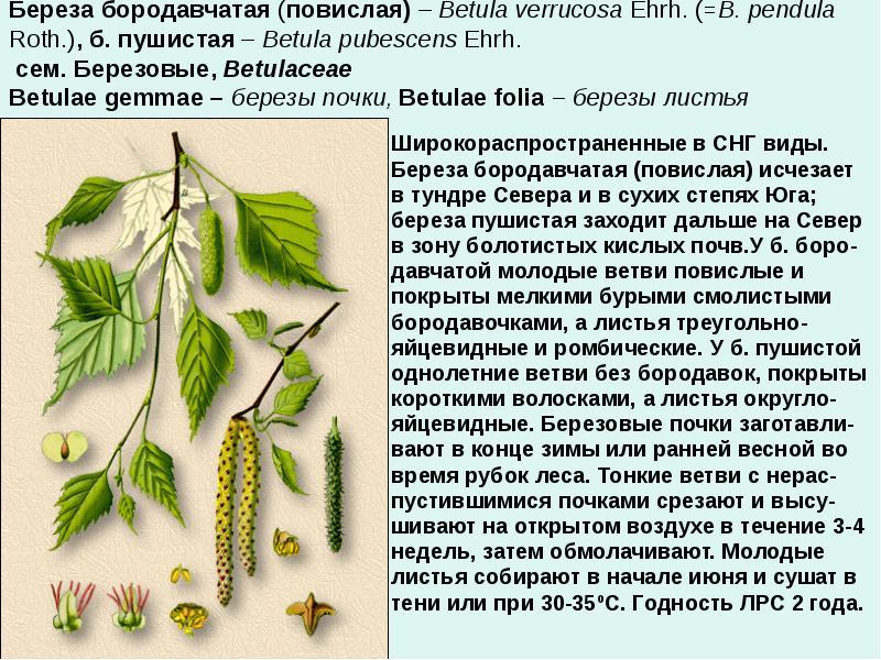 Декоративная береза, посадка, уход и название видов с фото