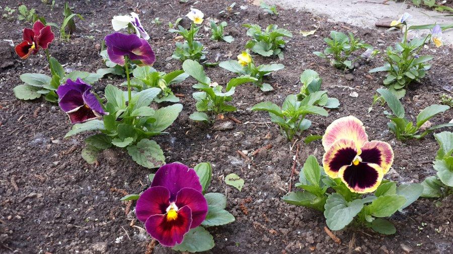 Анютины глазки: описание,выращивание,уход,содержание,фото,видео. | растюнька
