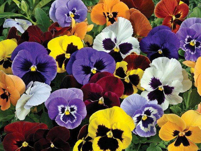 Анютины глазки: характеристики + фото цветов