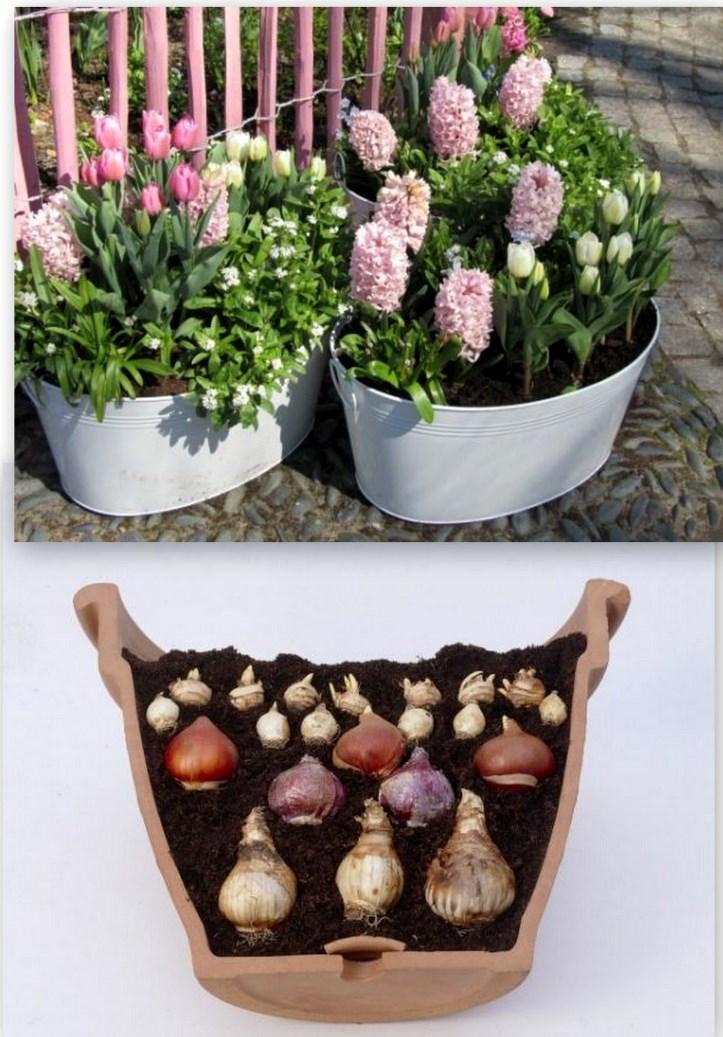 Посадка тюльпанов в корзины для луковичных культур